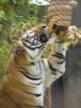 tiger_ssp